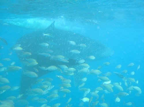 whale shark with school of fish