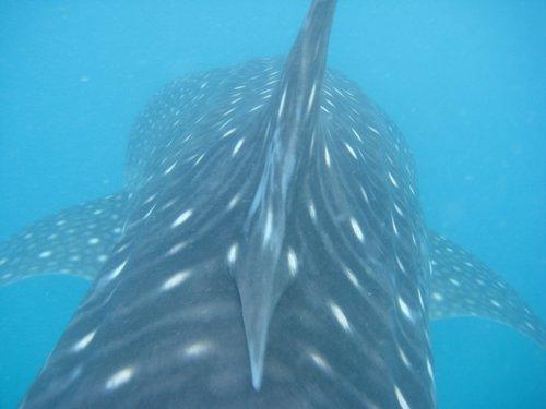 dorsal fin of whale shark