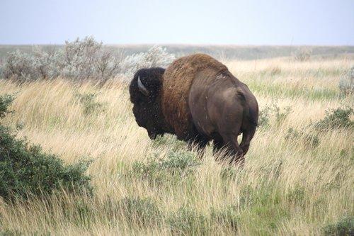 Painted Canyon buffalo