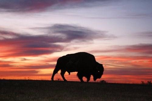 dakota buffalo at sunset