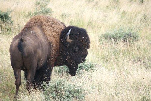 buffalo in the grasslands