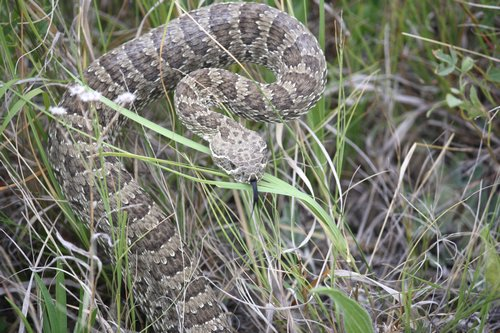 snake in defensive position