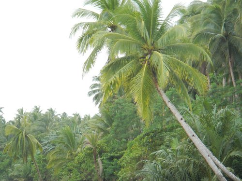 coconut trees alongside the river