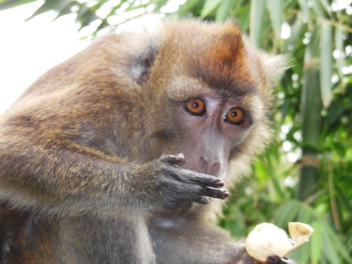 monkey with lansones