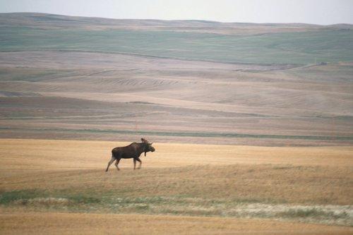 North Dakota Moose Dutchpickle