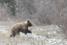 Yukon grizzly bear