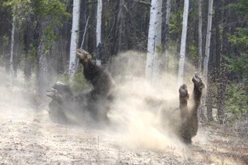 Buffalo taking dust bath