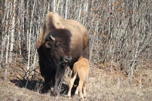 buffalo with calf