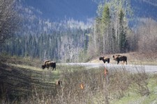 bison on highway