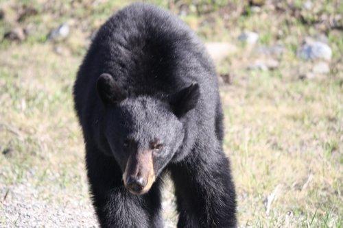 bear coming