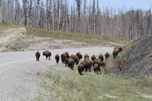 Bison on the Alaska Highway