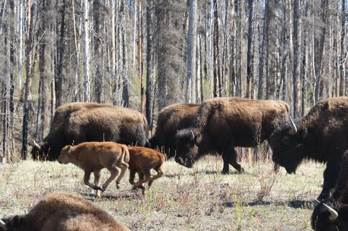 buffalo in BC