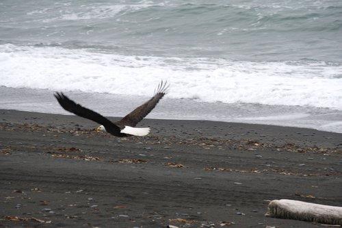 eagle at Chiniak