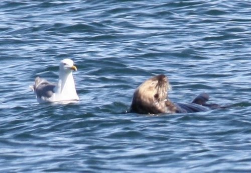 seagull and sea otter
