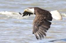 Eagle flying in Katchemak Bay Alaska