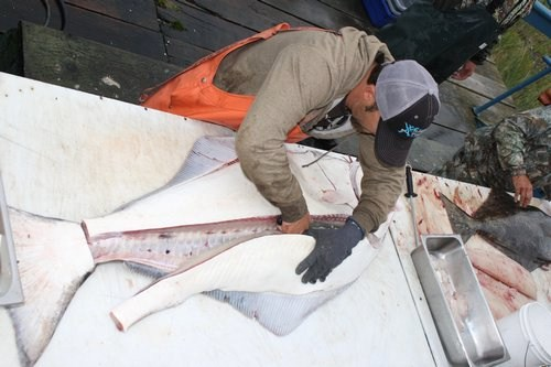 cleaning halibut fish