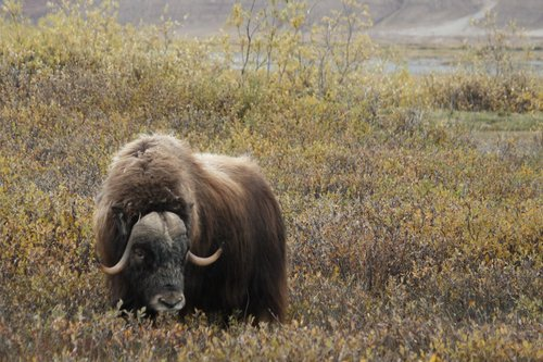 Musk Ox on the North Slope