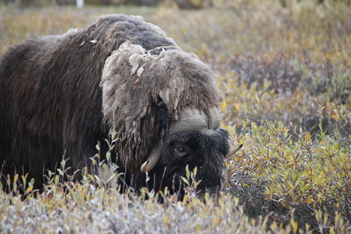 musk ox grazing