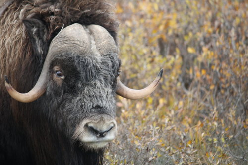 Musk Ox in Prudhoe Bay