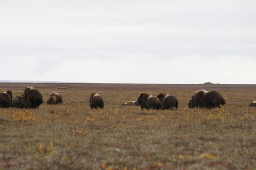 musk ox group