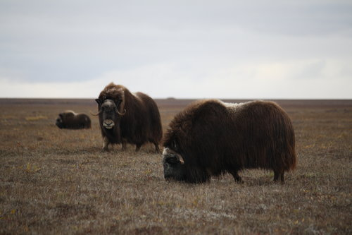 musk oxen in the Arctic