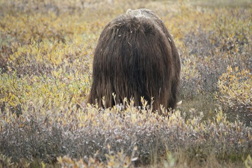 the back side of a musk ox